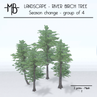 river birch tree group of 4 t w
